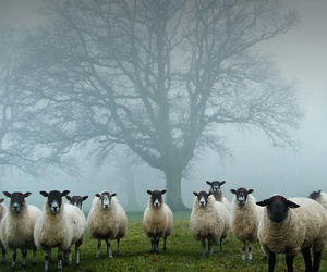 sheep, black and white, and tree image