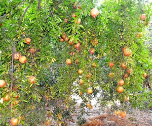 natural, pomegranate, and tree image