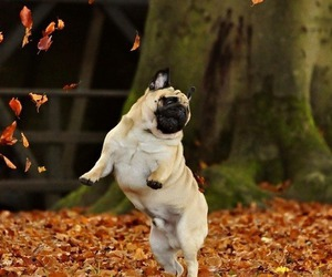 dog, autumn, and pug image