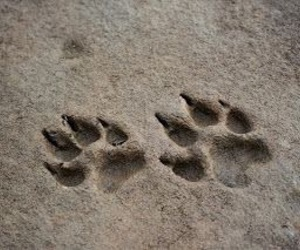 dog, paw prints, and wolf image