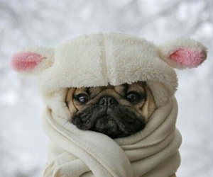 awwwww, blanket, and pug image