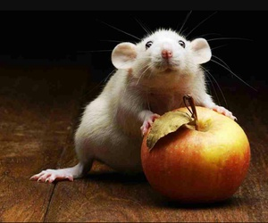 adorable, rat, and apple image