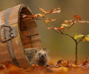 autumn, hedgehog, and animal image