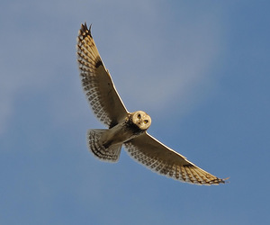 owl, seo, and short-eared owl image