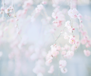 flowers, cherry blossom, and pink image