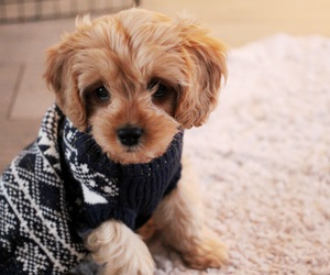 dogs, puppy, and cavapoo image