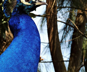 azul, pavo real, and ave del paraiso image