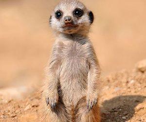 baby, animal, and meerkat image