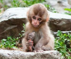 adorable, animal, and monkey image