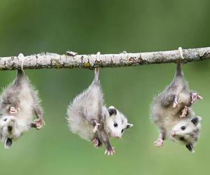 animal, opossum, and possum image