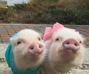 animals and piggies image
