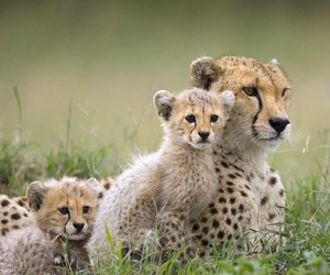 animal, cat, and cheetah image
