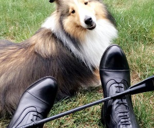 boots, dogs, and sheltie image