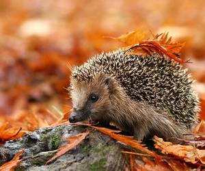 autumn, hedgehog, and fall image