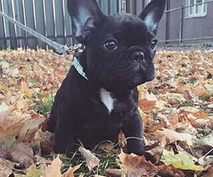 frenchies, puppies, and puppy image