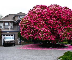pink, tree, and rododendron image