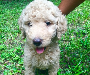 adorable, goldendoodle, and dog image