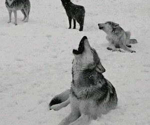 wolf and wolf pack image