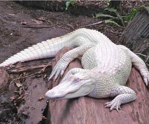albino and gator image
