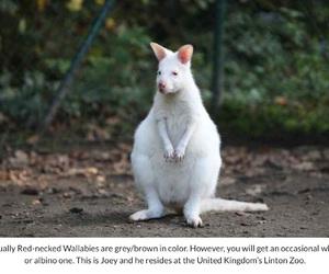albino, wallaby, and kangaroo image
