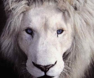 albino and lion image