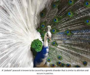 albino, peacock, and piebald image