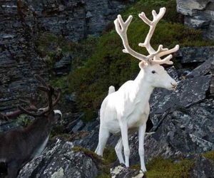 albino and moose image