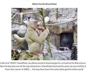 albino, eating, and gorilla image