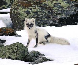 wildlife, winter, and artic fox image
