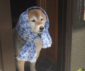 dog, shiba inu, and cute image