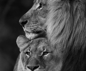 animal, lioness, and lions image