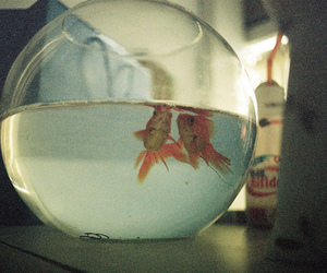 fish, vintage, and goldfish image