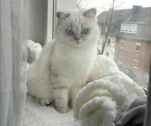 blue, cat, and animal image