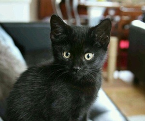 cat, beautiful, and adopt image