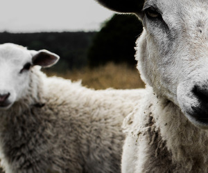 country, countryside, and sheep image