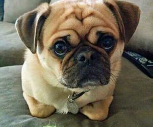 dog, funny, and pug image