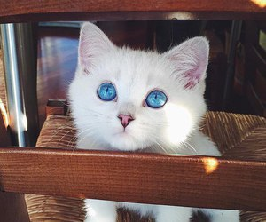 blue eyes and cute kitty image