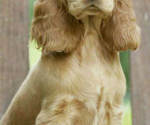 spaniel and coker image