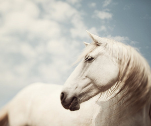 horse, white, and white horse image