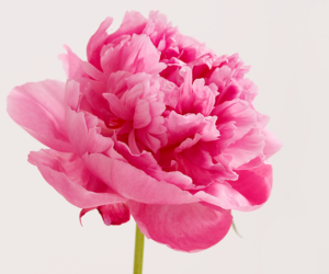 flower, peonies, and pink image