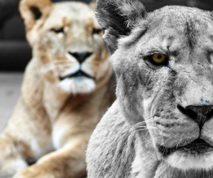 animals and lions image