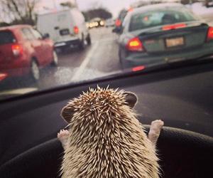 animal, hedgehog, and car image