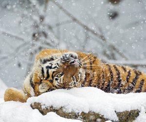 tiger, snow, and animal image