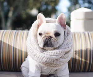 clothes, dog, and french bulldog image