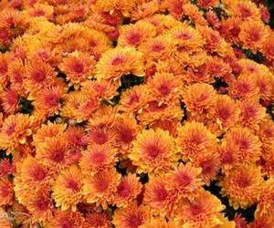 colorful, fall, and flowers image