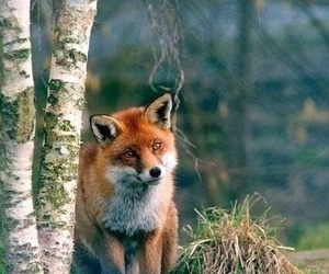 animal, fox, and forest image