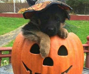 Halloween, pumpkin, and dog image