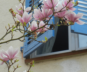 blossoms, magnolia, and nature image