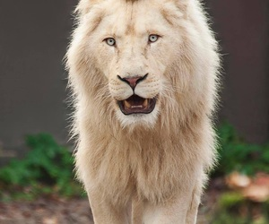 king, white, and lion image