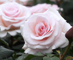 feminine, lovely, and rose image